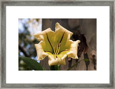 Golden Chalice Vine (solandra Maxima) Framed Print