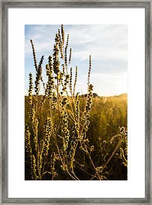 Golden Cocklebur Framed Print by Ellie Teramoto