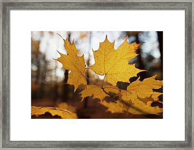 Golden Coloured Maple Leaves In Autumn Framed Print by Ron Bouwhuis