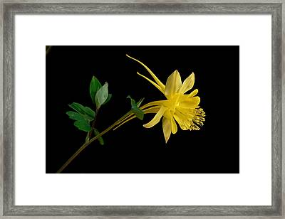 Golden Columbine Framed Print
