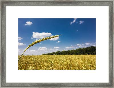 Golden Cornfield And Blue Sky On A Beautiful Sunny Summer Day Framed Print