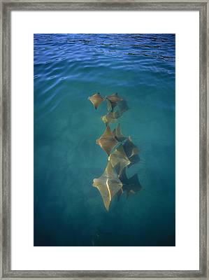Golden Cownose Rays Schooling Galapagos Framed Print