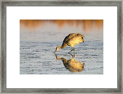 Golden Crane Reflections Framed Print
