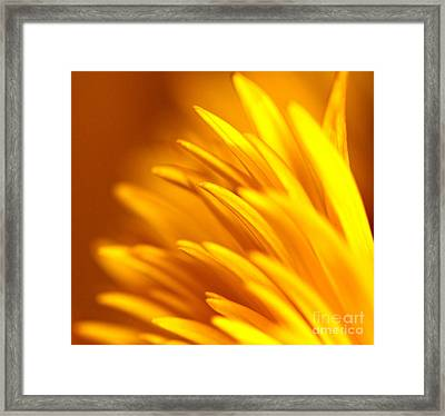 Golden Dahlia Framed Print