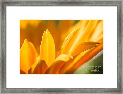 Golden Daisy  Framed Print by Iris Richardson