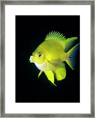 Golden Damselfish Framed Print by Louise Murray