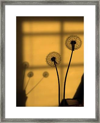 Golden Dandelion Framed Print