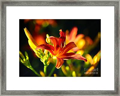 Golden Daylily Rays Framed Print