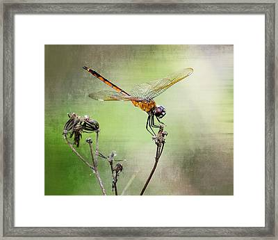 Golden Dragonfly II Framed Print by Dawn Currie