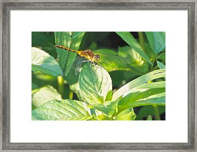 Golden Dragonfly On Mint Framed Print