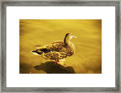 Golden Duck Framed Print by Nicola Nobile