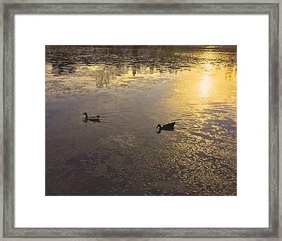 Golden Ducks Framed Print