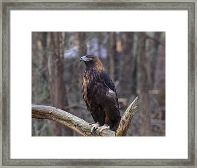 Golden Eagle 1 Framed Print by Chris Flees