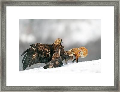 Golden Eagle And Red Fox Framed Print