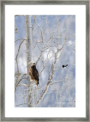 Golden Eagle And The Magpie Framed Print