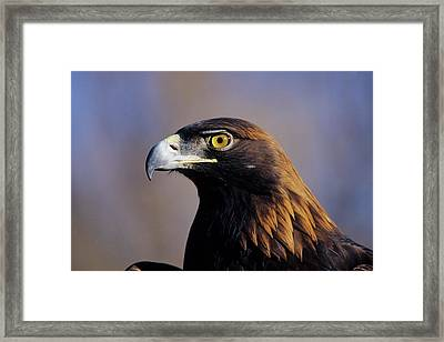 Golden Eagle (aquila Chrysaetos Framed Print by Richard and Susan Day
