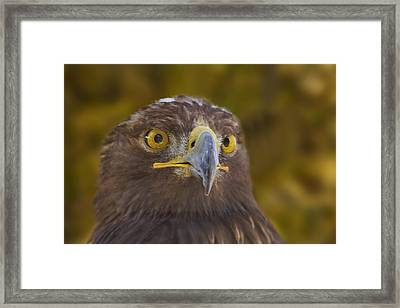 Framed Print featuring the photograph Golden Eagle  by Brian Cross