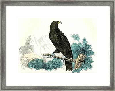 Golden Eagle Framed Print by Collection Abecasis