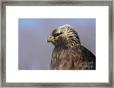 Golden Eagle Facing An Autumn Sunrise Framed Print