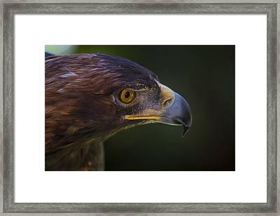 Golden Eagle Hunting For Prey Framed Print