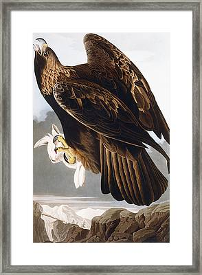 Golden Eagle Framed Print by John James Audubon