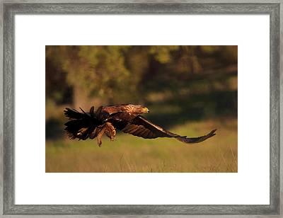 Golden Eagle On The Hunt Framed Print