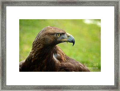 Golden Eagle Framed Print by RicardMN Photography