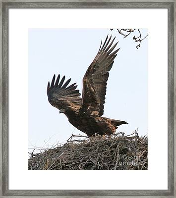 Golden Eagle Takes Off Framed Print