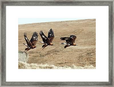 Golden Eagle Taking Off Framed Print