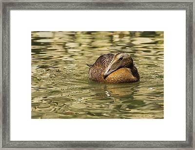 Golden Eider Framed Print