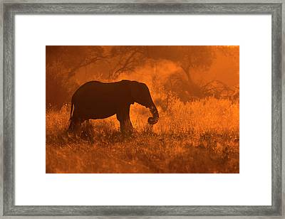 Golden Elephant In Savute Framed Print