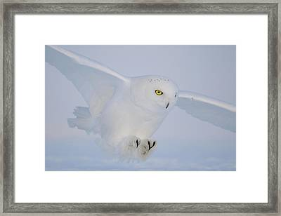 Golden Eyes On The Hunt Framed Print