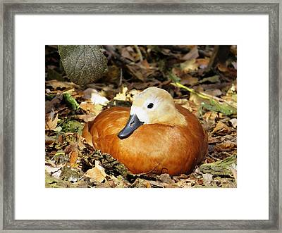Golden Feathers Framed Print