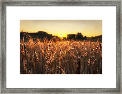 Golden Fields Framed Print