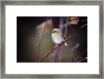 Golden Finch Colors Of Winter Framed Print