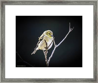 Golden Finch Framed Print