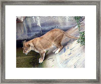 Golden Fur Lioness Framed Print