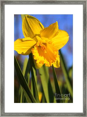 Golden Glory Daffodil Framed Print by Kathy  White