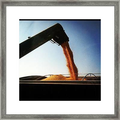 Golden Grain Framed Print