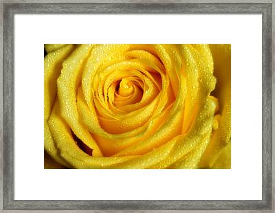 Golden Grandeur Of Nature. Yellow Rose I Framed Print by Jenny Rainbow
