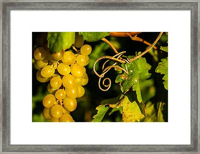 Golden Grapes On Vines Framed Print by Meir  Jacob