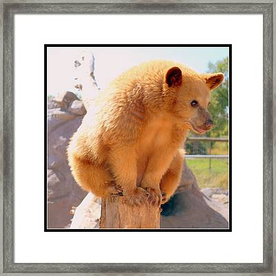 Golden Grizzly Cub Framed Print