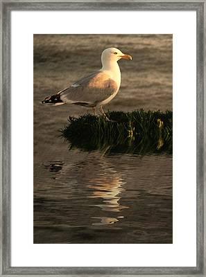Golden Gull Framed Print by Sharon Lisa Clarke