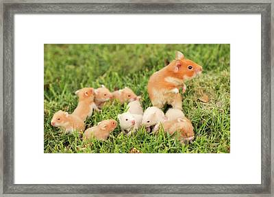 Golden Hamster With Young Framed Print by Photostock-israel