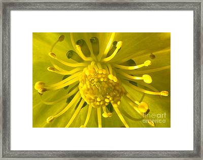 Golden Hellebore Glory Framed Print