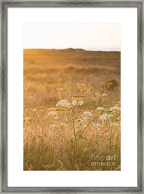 Golden Hogweed Framed Print