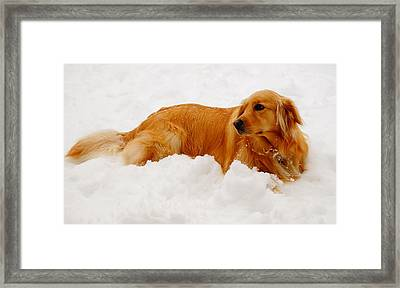 Golden In The Snow Framed Print by Andrea Rea