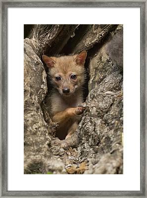Golden Jackal (canis Aureus) Cubs Framed Print by Photostock-israel