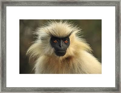 Golden Langur Chakrashila Wildlife Framed Print by Thomas Marent
