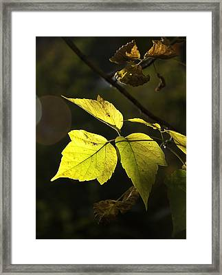 Golden Leaves Framed Print